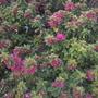 Bougainvillea 'Pink Pixie' (Bougainvillea 'Pink Pixie')