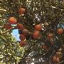 Wodyetia bifurcata  - Foxtail Palm seeds (Wodyetia bifurcata  - Foxtail Palm)