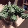 Sedum hybrid aff morganianum? (Sedum cross? aff morganianum)