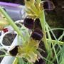 Iris tuberosa 2  (Iris tuberosa)