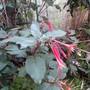 Fuchsia in leaf and lboom