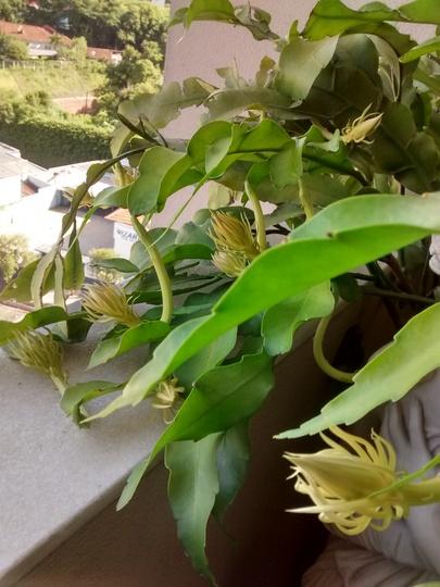 36 in a go (Epiphyllum oxypetalum)