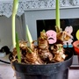 Amaryllis hybrids with buds in kitchen 14th January 2017 001 (Amaryllis Hippeastrum)