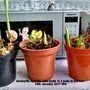 Amaryllis hybrids with buds in 3 pots in kitchen 14th January 2017 003 (Amaryllis Hippeastrum)