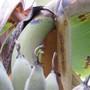 banana stem looks ripe.. (Musa balbisiana)