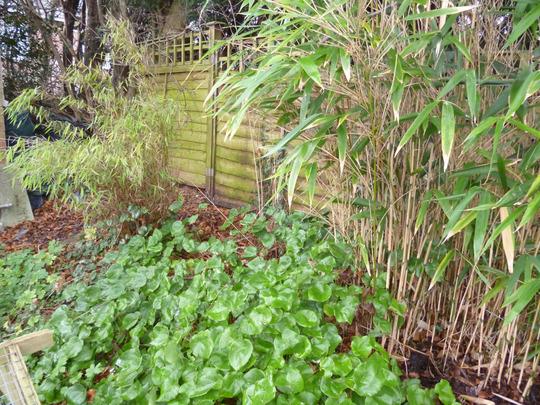 Epimedium and bamboos (Epimedium sulphureum)