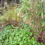 Epimedium_and_bamboos