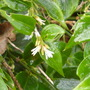 Sarcococca in flower (Saponaria officinalis)