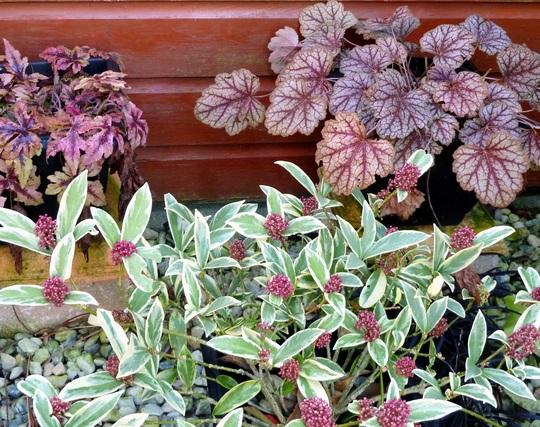 Gravel Garden in winter : Skimmias and Heucheras