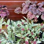 Gravel Garden in winter : Skimmias and Heucheras