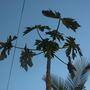 Carica papaya 'Red Caribbean'