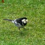 Pied_wagtail_.2