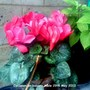 Cyclamen_on_balcony_table_29_05_2012