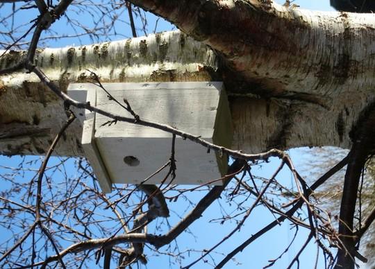 Bird box in birch tree