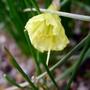 Narcissus romieuxii - 2017 (Narcissus romieuxii)