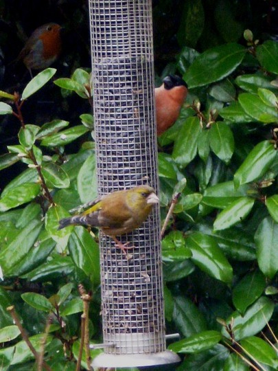 Bullfinch, Greenfinch plus Robin waiting his turn