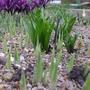 Reticulata_irises