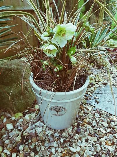 Container 2  with Molly's White Hellebore... (Helleborus x ericsmithii Molly's White)