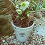 Container 2  with Molly's White Hellebore... (Helleborus x ericsmithii Molly's White)
