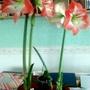 Amaryllis x2 flowering on living room table 12th February 2017 001 (Amaryllis)