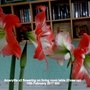 Amaryllis x2 flowering on living room table (Close up) 12th February 2017 002 (Amaryllis)