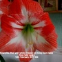 Amaryllis (Red with white stripes) on living room table Now fully open 12th February 2017 004 (Amaryllis)