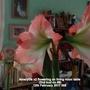Amaryllis x2 flowering on living room table 2nd bud on 9 12th February 2017 005 (Amaryllis)