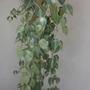 Philodendron 'Brazil' (Philodendron 'Brazil')