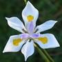 Dietes grandiflora 3  (Dietes grandiflora (Wild Iris))