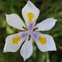 Dietes grandiflora (Dietes grandiflora (Wild Iris))