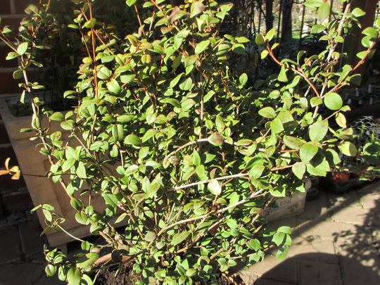 Chilean Guava, Myrtus ugni molinae 'Kapow' (Ugni molinae)