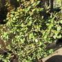 Chilean Guava, Myrtus ugni molinae 'Kapow' (Ugni molinae Kapow)