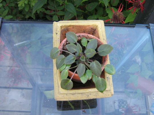 Miniature Saintpaulia