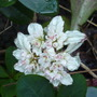 cant remember its name (Chrysosplenum macrophylum)