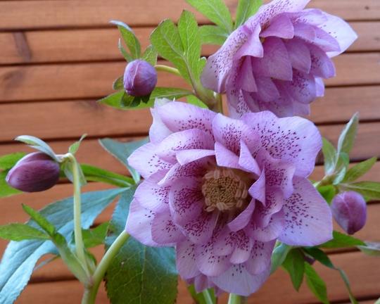 Hellebore flowering well in my back garden.