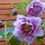 Hellebore flowering well in my back garden.