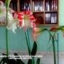 Amaryllis (x5) flowering on living room table 19th February 2017 001 (Amaryllis)