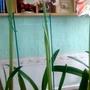Amaryllis #3 flowering on living room table 19th February 2017 007 (Amaryllis)