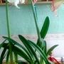 Amaryllis #5 flowering on living room table 19th February 2017 004 (Amaryllis)