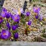 Crocus sieberi ssp sublimis 'Tricolor' - 2017 (Crocus sieberi)