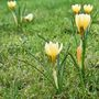 More Crocus