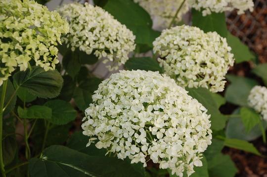 Hydrangea Annabelle (Hydrangea arborescens 'Annabelle')