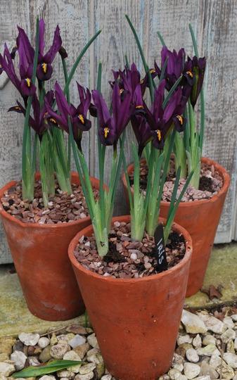 Iris reticulata J.S. Dijt.... (Iris reticulata (Iris)  J.S. Don't.)