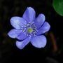 Hepatica.... (Hepatica transsilvanica Blue Jewel.)