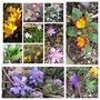 Spring Flowers (Crocus)
