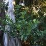 Clusia rosea - Autograph Tree (Clusia rosea - Autograph Tree)