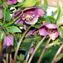 Helleborus 'Tutu' (Helleborus x hybridus)