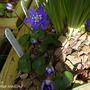 Hepatica Cobalt blue