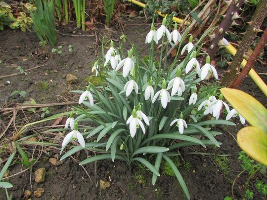 Galanthus Elwesii (Galanthus elwesii (Snowdrop))