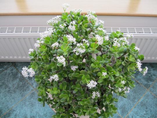 Crassula Ovata,( Money plant)